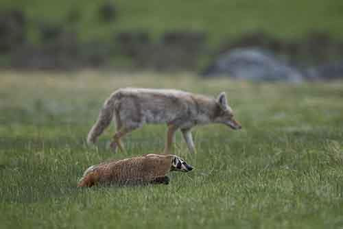 Badger And Coyote
