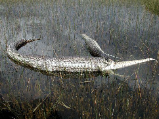 Restos de una pitón birmana que se había comido a un aligátor, fotografiados en 2005 en el Parque Nacional de los Everglades (Florida).