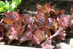 lettuce Butterhead Red, Skypho 072