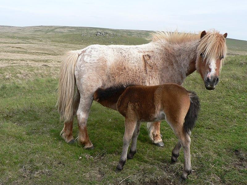 File:Dartmoor Ponies.jpg
