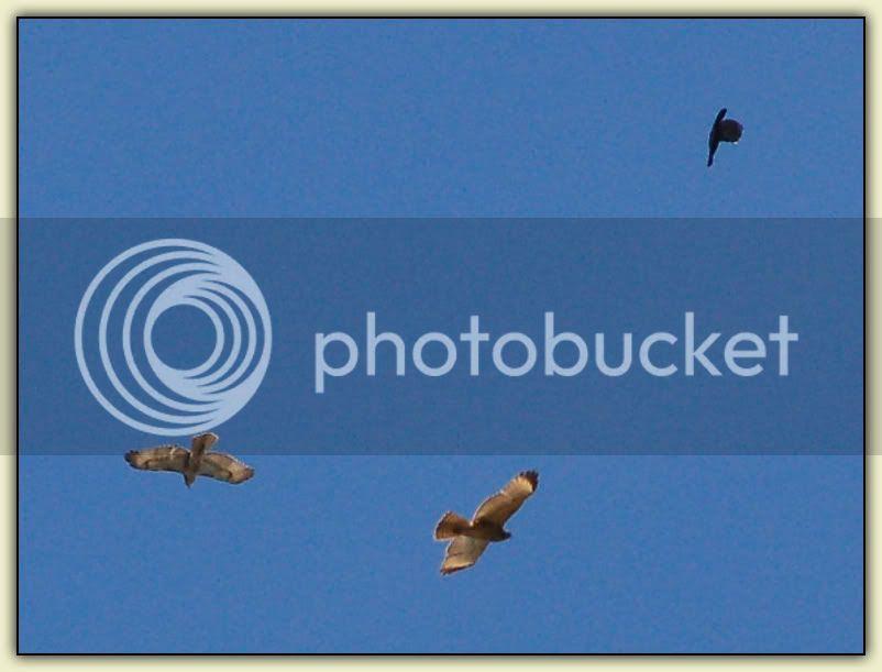 Birdfight 1