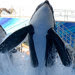 Trainers work with killer whales at SeaWorld's Shamu Stadium in Orlando, Fla.