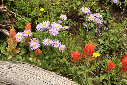 Asters and Paintbrush