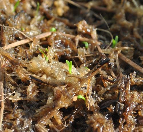 "Sarracenia oreophila x ""Toadmaster"" - germinating seeds"
