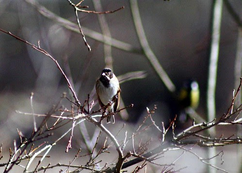 Male Reed Bunting at Otmoor