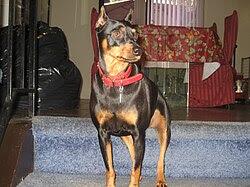 Miniature Pinscher Energetic Dog