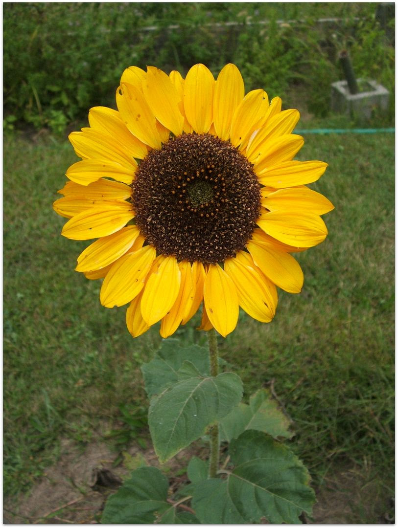 Soraya Sunflower by Angie Ouellette-Tower for godsgrowinggarden.com photo 009_zps34d09388.jpg
