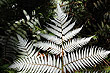 Silver Fern fotos