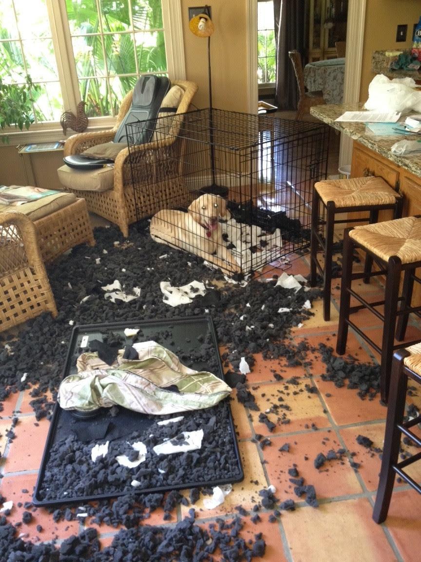 masum köpek evi dağıtan köpek köpeğim eve işiyor sidikle iz bırakmak hayvanlar alemi dağınık ev kirli köpek köpeğim ağlıyor köpeğim yemek yemiyor masaj koltuğu