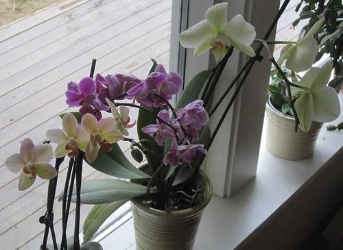 Orkideer i vinduskarmen