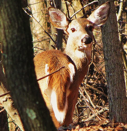 White tail deer by CharlesRay2010