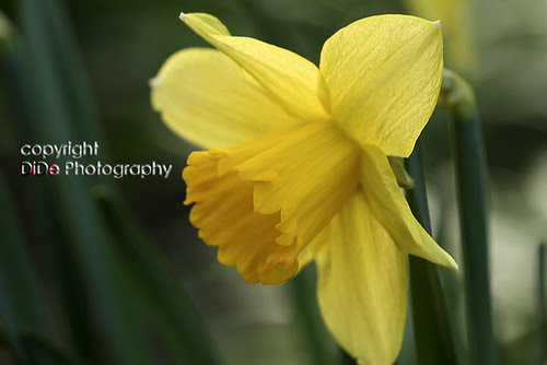 yellow, like a sunshine.. narcissus
