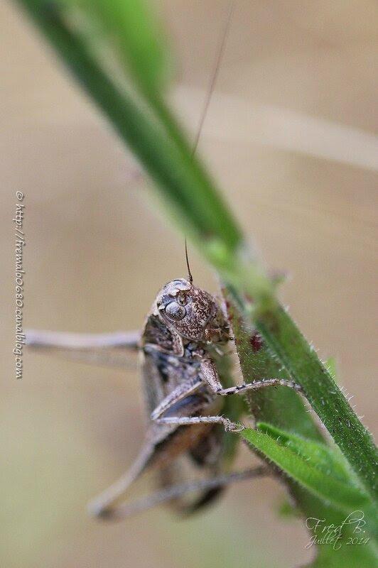 Platycleis albopunctata ♀