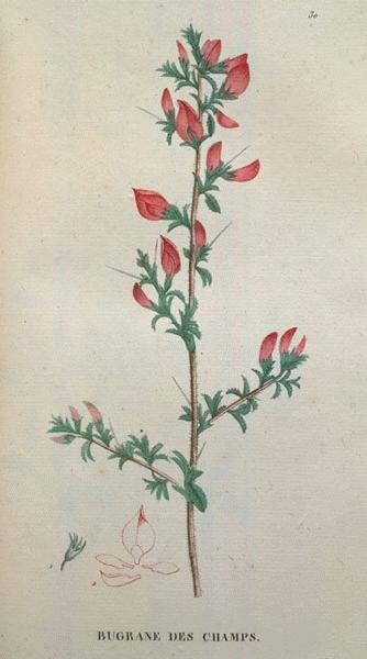 http://www.botanical.com/botanical/mgmh/r/restha11-l.jpg