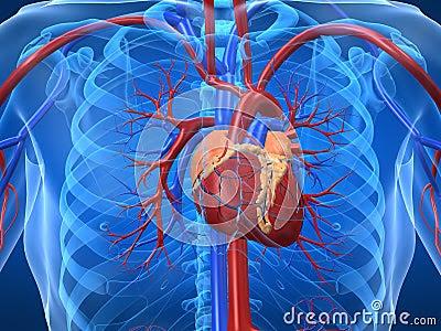 O Sistema Circulatório e as Funções do Coração