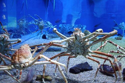 Crabs in the Osaka Aquarium