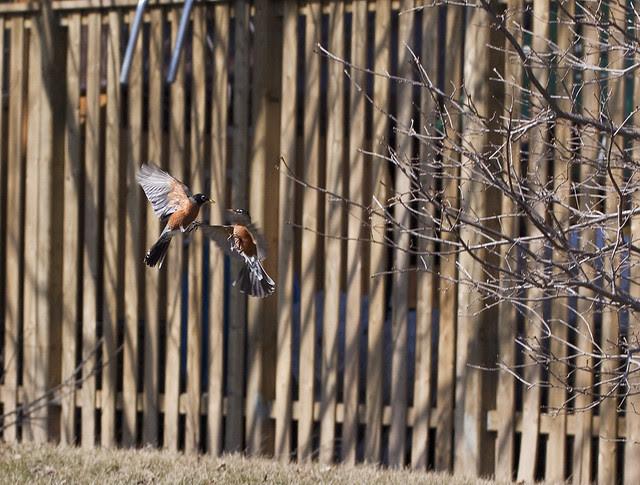 robin fight