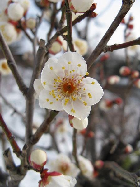 File:Prunus mume Tojibai1.jpg