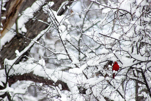 Cardinal in the snow by Jeni Baker