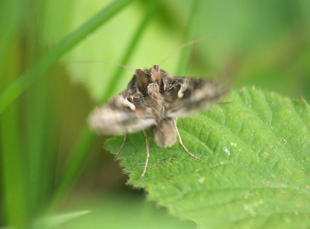 Silver Y moth DSC_4073