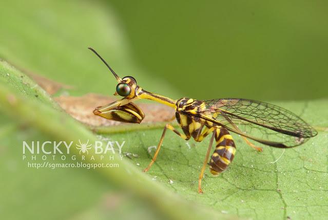 Mantisfly (Mantispidae) - DSC_9606