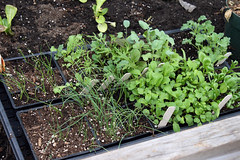 seedlings in cold frame 003