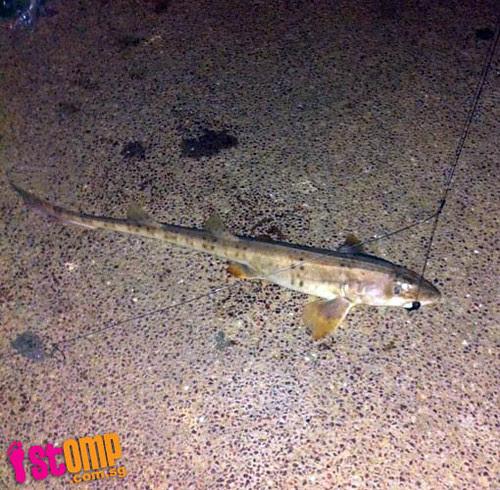 Surprise catch: Angler hooks baby shark at Punggol End