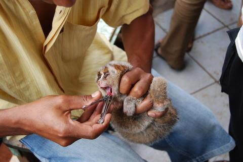 被抓到的懶猴被強行剝牙。(ticklingistorture圖片)