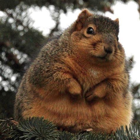 Fat squirrel   Funny   Pinterest