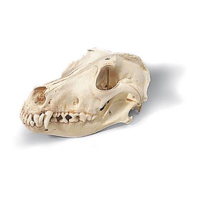 T30021: Crânio de cachorro (Canis domesticus)