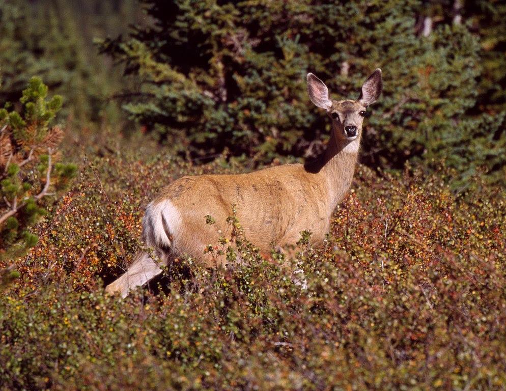 http://upload.wikimedia.org/wikipedia/commons/thumb/7/7c/Mule_Deer_on_Clearwater_1.jpg/994px-Mule_Deer_on_Clearwater_1.jpg