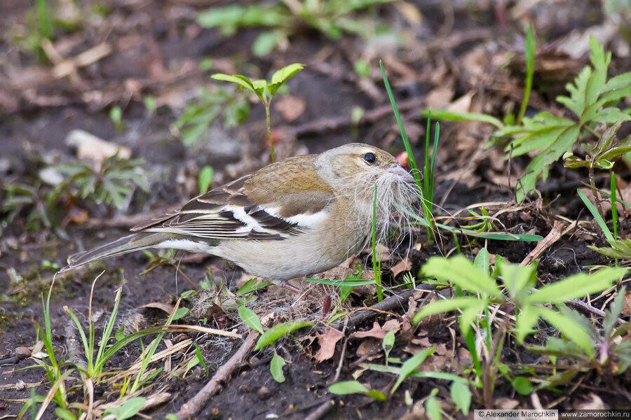 Самка зяблика | Female chaffinch | Fringílla coélebs Feminam