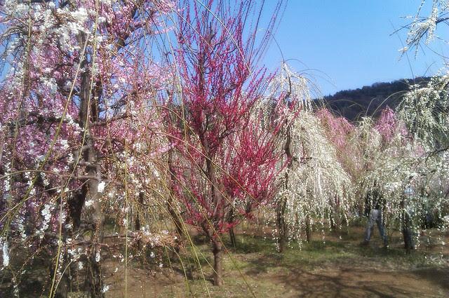 plum garden in Soga, Kanagawa