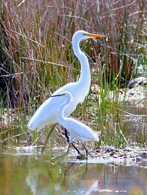 Egrets 20090330