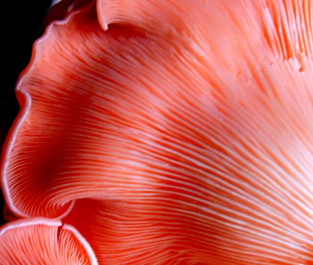 Djamor Oyster Mushroom