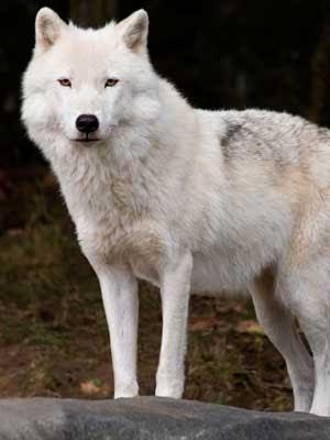 Características De Los Lobos Lobopedia