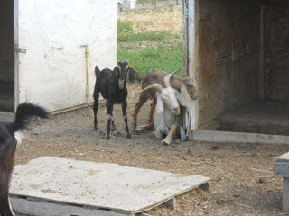 Our Nanny Goat Minnie and Her Kids from 2013