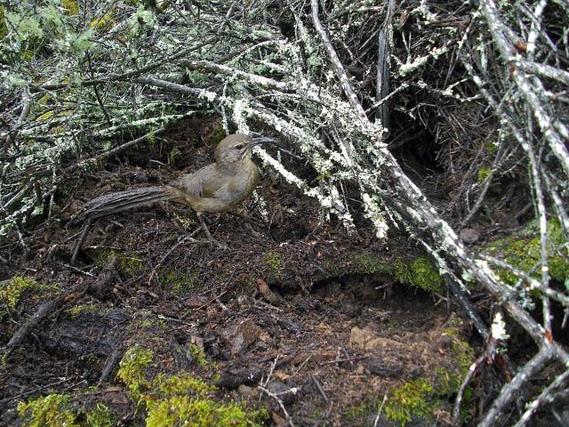 california thrasher