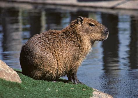 Capybara   The Biggest Animals Kingdom