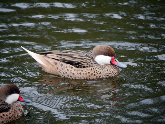 Ed Gaillard: birds &emdash; White-Cheeked Pintail (Bahama Duck(, New Providence, Bahamas