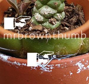 white crust on houseplant pot, how to water houseplants, monadenium