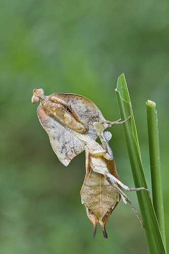 Dead leaf mantis, Deroplatys truncata....IMG_6111 copy