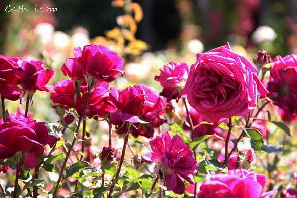Rose Garden Invercargill Nzealand_7