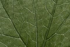 zucchini-leaf-veins