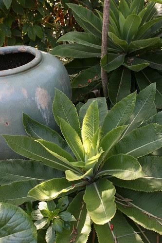 muschias and pot