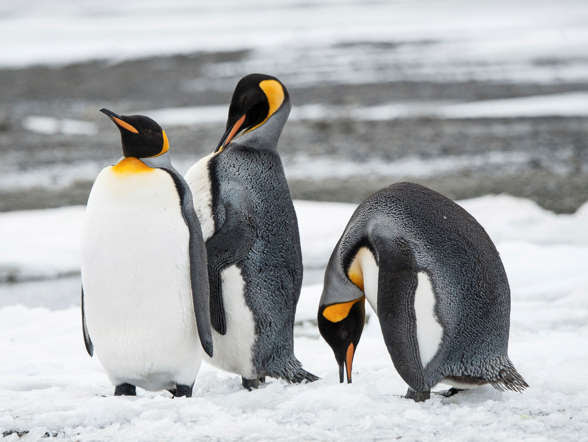 The second largest species of penguins, king penguins are known to be excellent divers, thanks to their large flippers. They are also able to survive without food for up to three months with the stored body fat.