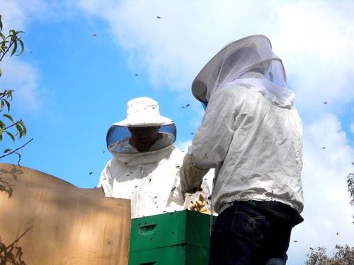 Honeybees at Hayes Valley Farm - 5/27/10 by edibleoffice, on Flickr
