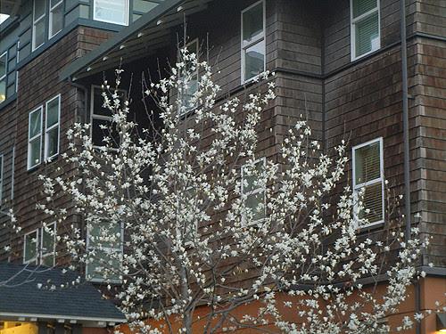 DSCN0498 _ Magnolia Blossoms, January 2014