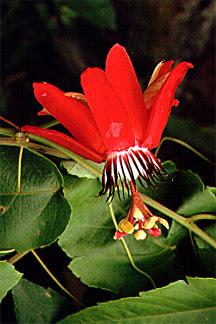 4471 Passion Flower