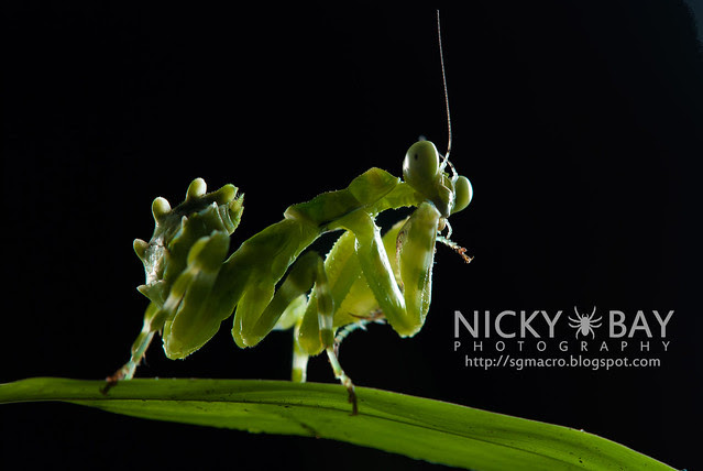 Banded Flower Mantis (Theopropus elegans) - DSC_3558